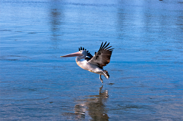 Water-walking-Pelican